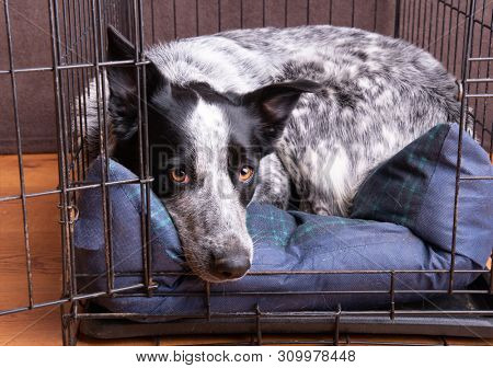 Dog resting in her crate, with door open so she can come and go as she pleases