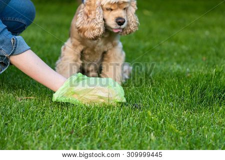 Woman With Plastic Bag Clean Dog Shit In Park