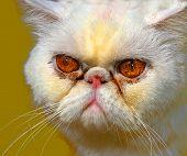 Closeup macro of Mad persian Cat on black poster
