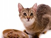 Beautiful bengal cat eats cat-like meal on the white background poster