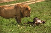 Wild african lion and his his kill, a dead wildebeest, Serengeti national park, Tanzania, Africa poster