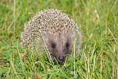 Hedgehog is sitting in the green grass. Shows aggression. poster