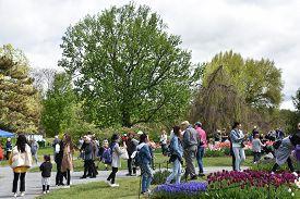Albany, Ny - May 11: The 2019 Tulip Festival At Washington Park In Albany, New York State, On May 11