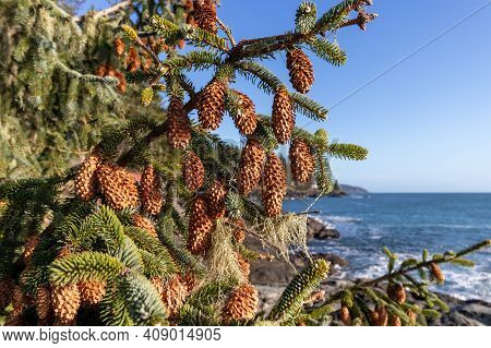 Close Up Of Pinecones On A Tree Branch By The Ocean On A Sunny Day On Vancouver Island, Bc