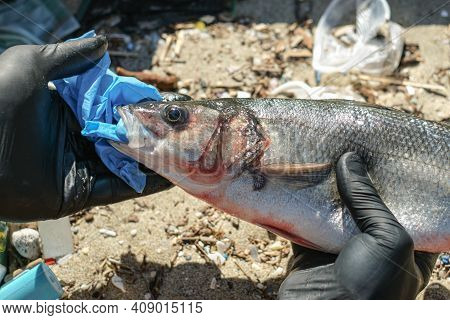 Man Remove Plastic From Sea Bass Fish Mouth Dead Eating Disposal Glove Trash, Plastic Pollution