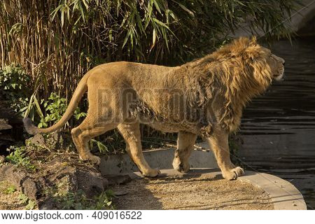 The Asiatic Lion (panthera Leo Leo) In Zoo.
