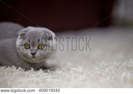 Grey Fluffy Kitten Scottish Fold Sits On A Fluffy Beige Carpet And Looks On The Right Side. Copy Spa
