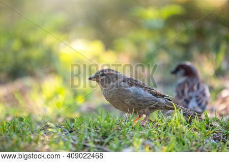 Eurasian Tree Sparrow, Little Brown Bird Foraging On The Green Grass Lawn In Public Park, Eurasian T