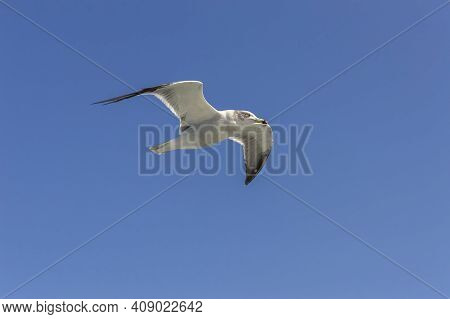 Close Up View Of Seagull Hovering Over The Blue Sky On Sunny Day