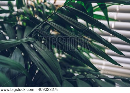 Chamaedoreas Leaves With White Jalousie On The Window On Background