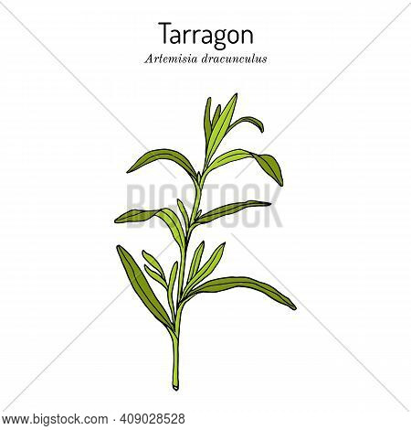 Tarragon Artemisia Dracunculus , Aromatic Kitchen And Medicinal Herb. Hand Drawn Botanical Vector Il