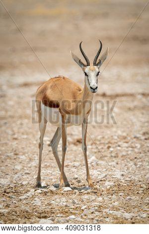 Springbok Stands Facing Camera On Rocky Pan