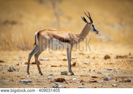 Springbok Stands In Short Grass In Profile