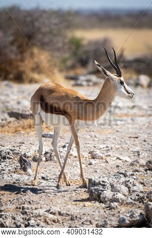 Springbok Stands Near Trees On Rocky Slope