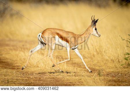 Springbok Trots Across Grassy Track In Sunshine