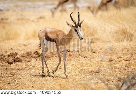 Springbok Walks Through Grass With Others Behind