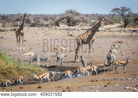 Springboks At Waterhole With Giraffes And Zebras