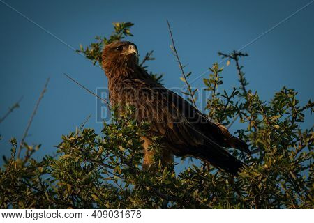 Tawny Eagle Turns Head In Leafy Branches