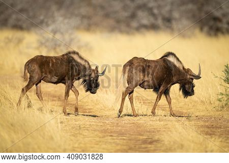 Two Black Wildebeest Cross Grassy Track Together