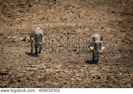 Two Common Warthog Trot Over Bare Earth