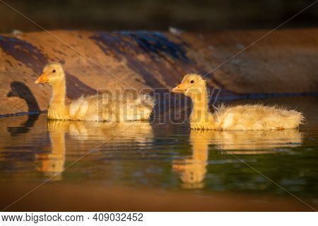 Two Goslings With Reflections In Artificial Pond