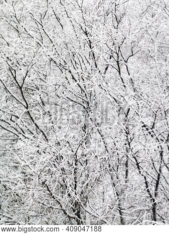 Snow Covered Winter Trees After A Snowstorm Create An Almost Black And White Background With A Stron
