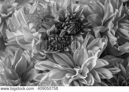 Details Of Macro Photography Of Chrysanthemum Flowers. The Black-and-white Photo Highlights The Text