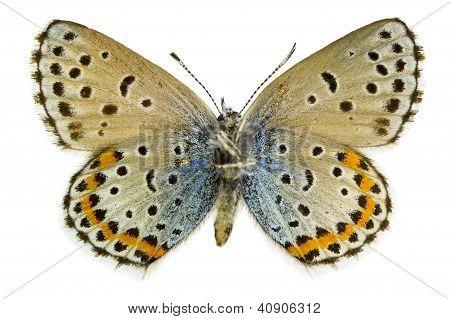 Pseudophilotes Bavius (bavius Blue)