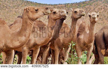Caravan Of 5 Camels Staring Calmly In Wildlife