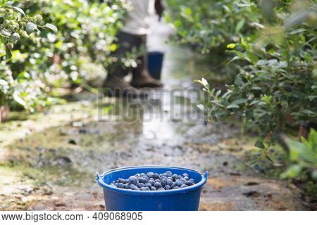 Harvesting Blueberries In The Field. Blue Bucket Full Of Blueberries In Nature Near Blueberries Bush