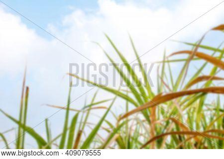 Blurred Sugar Cane Leaf For Nature Background, Sugarcane Leaves In Plantation Blur Image, Fresh Gree