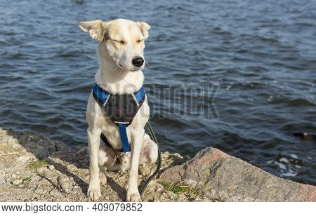 Portrait Of Adorable Mixed-breed White Dog In Breast-band Sitting On A Dnipro Riverside And Drowsing