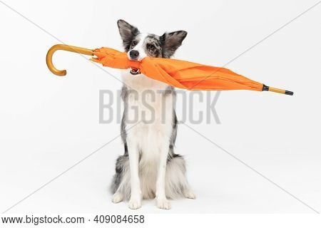 A Properly Trained Dog Can Hold An Orange Umbrella In Its Mouth In A Sitting Position. Border Collie