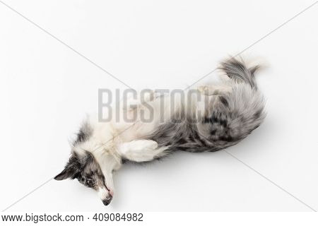 Purebred Border Collie Dog Lying Tired On Its Back Against A White Background. Top View. Purebred Do