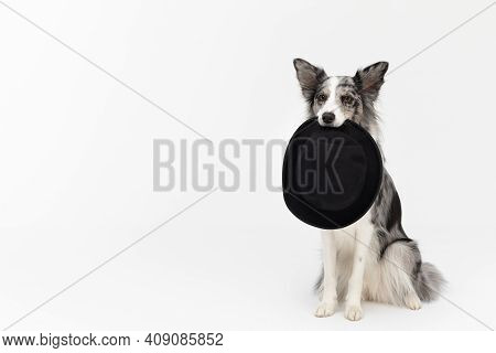 A Well-trained Dog Sits On Its Butt And Holds A Black Hat On Its Face. Border Collie Dog. A Purebred