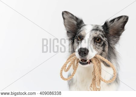 A Well-trained Dog Can Hold A Thick String Coiled In Its Teeth. Border Collie Dog. A Purebred Dog Wi