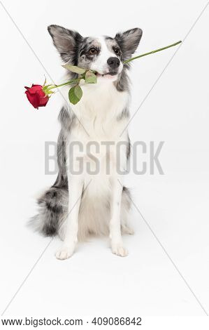 A Well Trained Dog Holds One Red Rose In Its Mouth. Border Collie Dog. A Purebred Dog With A Proven