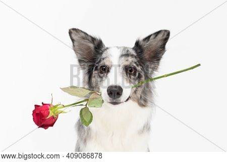 The Frame Shows A Dog With A Fresh Red Rose In Its Mouth. Border Collie Dog. A Purebred Dog With A P