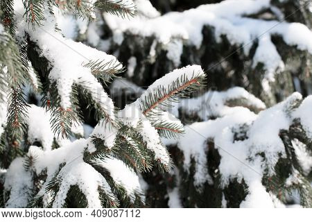 Christmas Tree Branch Covered With Snow, Close-up. Sunny Winter Day In The Forest.
