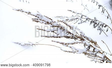 Beautiful Bush In The Snow. Snow Covered Grass. Sedge Covered With Snow Bent To The Snow Crust. Beau