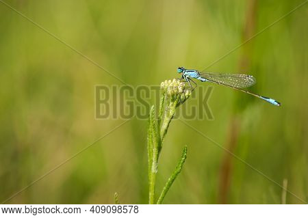 Enallagma Cyathigerum. Blue Dragonfly On A Meadow Flower. Close-up Dragonfly With Big Eyes Sits On A
