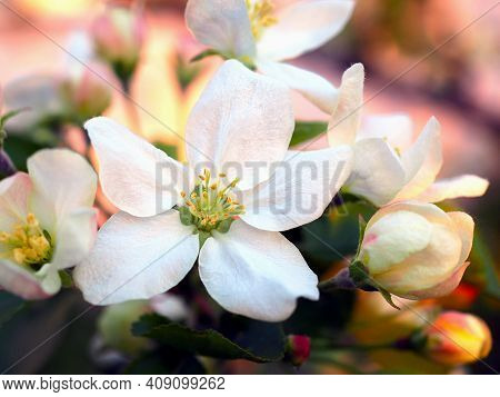 White Flowers Of An Apple Tree Close-up At Sunset. Petals, Pistils, Stamens, Buds And Leaves. Bloomi