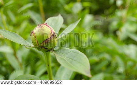 Peony Bud Very Popular With Ants. The Ants Collect The Sweet Syrup Of The Plant.