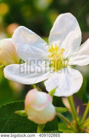 White Flowers Of An Apple Tree Close Up. Petals, Pistils, Stamens, Buds And Leaves. Blooming Fruit T