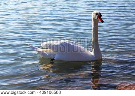 Beautiful Young Swan Swim By The Shore In The Cold Water Winter Time At Sunset