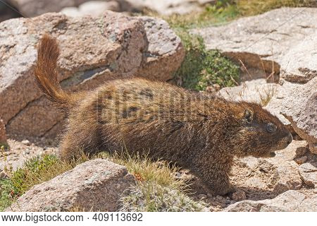 Yellow Bellied Marmot Wandering The Alpine Tundra In Rocky Mountain National Park In Colorado