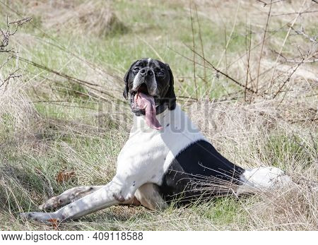 Dog Of The Hunting Breed - Pointer Lies On Rest. English Black And White Pointer Rests On The Hunt W