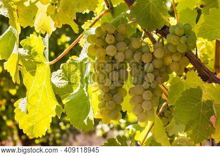 Closeup Of Ripe Pinot Gris Bunches Of Grapes Growing On Vine In Vineyard At Harvest Time