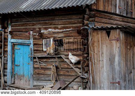 Three Chickens Hen Entering In Chicken Coop.