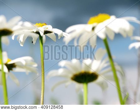 Flowers Daisies In Summer Spring Meadow On Background Blue Sky. Chamomile Daisy Flowers, Field Flowe